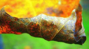 understanding plant disease leaf curls and blisters