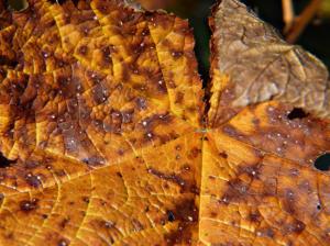 understanding plant disease spotted leaves