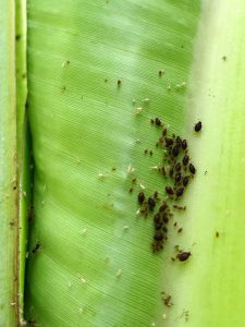 Aphids on leaf,Aphids,
