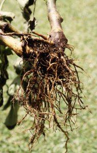 'Awa: Phythium Root Rot -- black roots and stump