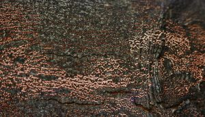 Coral Spots