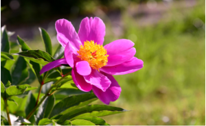 Phosphorous is known as the 'Bloom Fertilizer' responsible for production of flowers