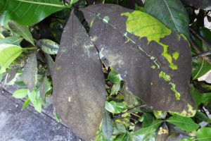 22 common plant diseases Gray Mold
