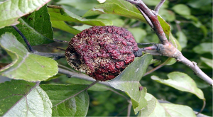 understanding plant disease a withered apple fruit