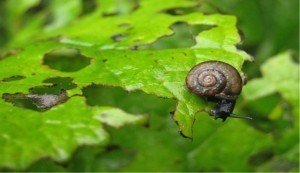 DIY Organic pesticide snail on leaf