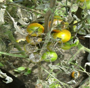 understanding plant disease late blight