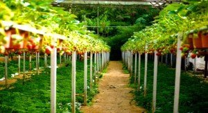 fertilized strawberries on field