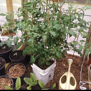 Gardening in a greenhouse for beginners tomato plant