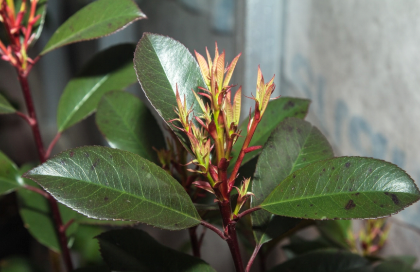 ficus elastica care and tips close up of new leaves emerging