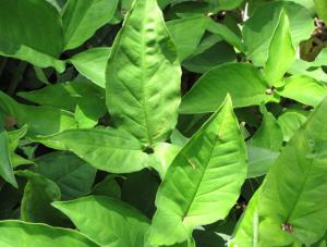 nephthytis plant
