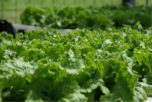 pros and cons of hydroponics greens growing hydroponically