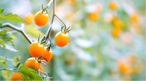 best vegetables that grow in shade cherry tomatoes