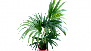 dehumidifying plants Areca palm