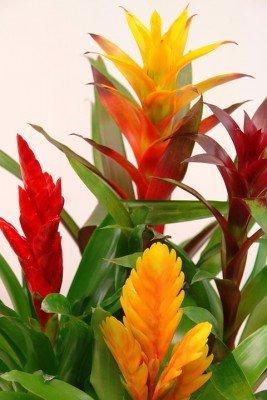 10 indoor low light plants Bromelaids