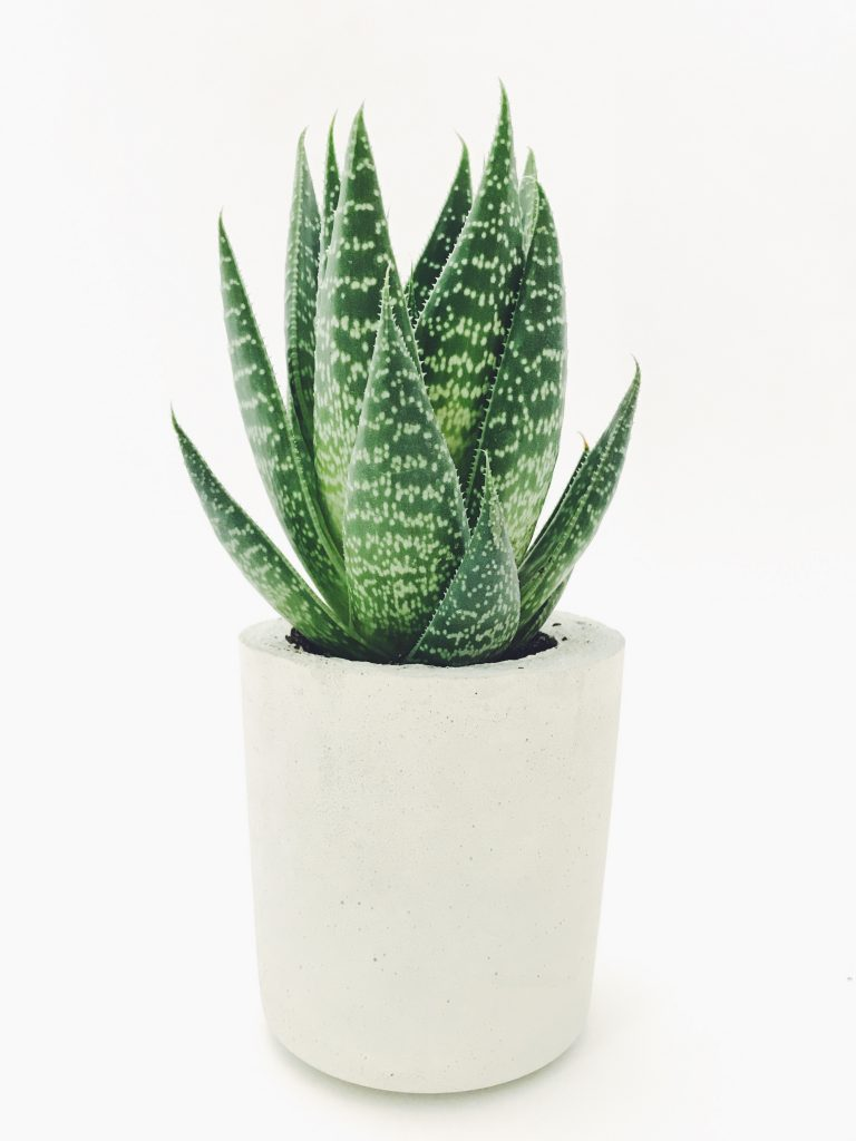 best indoor plants for anxiety Aloe Vera in a white pot