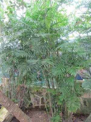 Plants that absorb Carbon Dioxide Areca Palms