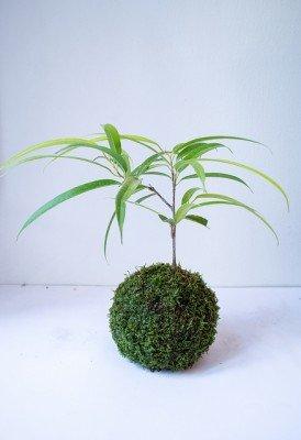 Plants that remove Carbon Dioxide Ficus Alii