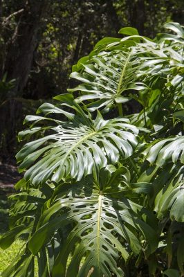 best indoor plants for anxiety philodendrons