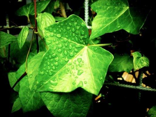 Plants that absorb carbon monoxide English ivy