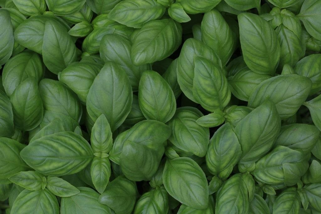 Easiest Vegetables to Grow Basil