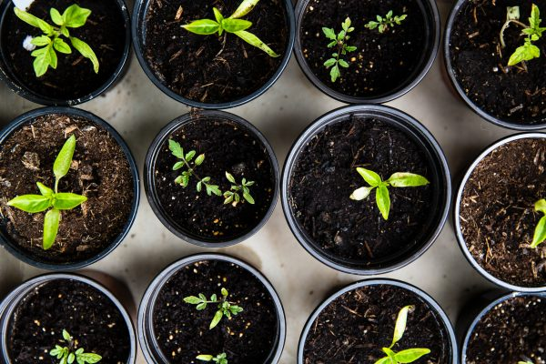 herb gardening for beginners seedlings emerging