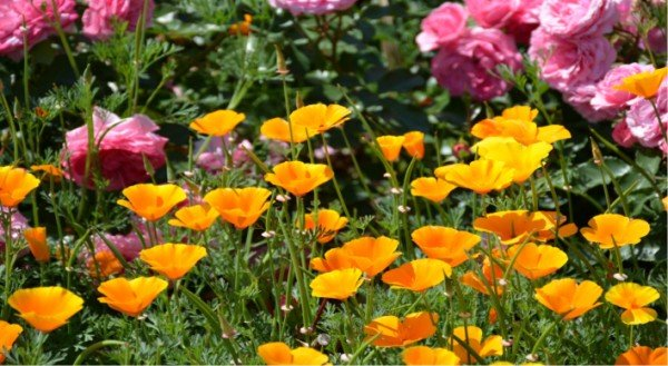 How to start a vegetable garden from scratch California Poppy