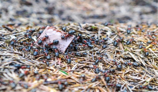 How to get rid of ants naturally ants on top of chocolate