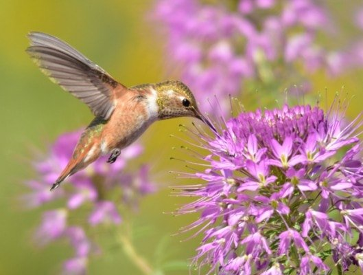 Salvias for hummingbirds a match made in heaven hummingbird in the air