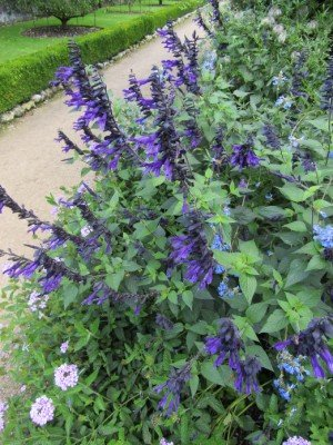 Salvias for hummingbirds a match made in heaven Annuals