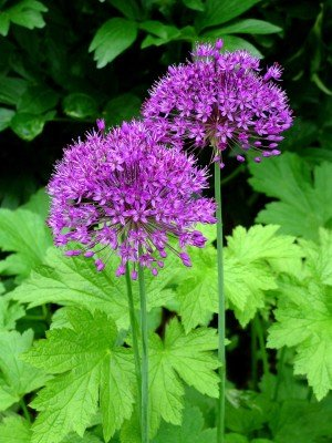 Citranatal plants Alliums