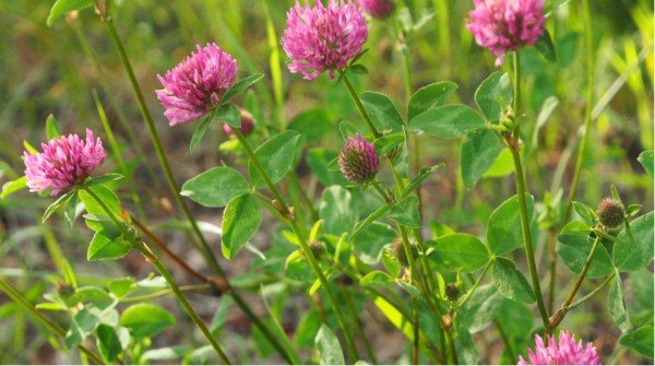 Edible Weeds Red Clover