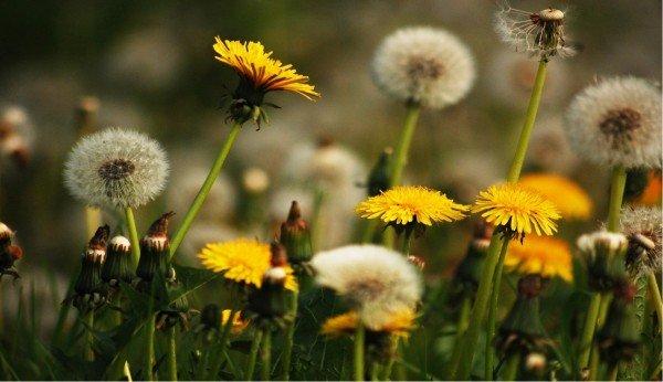 Edible weeds Dandelion Flowers