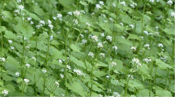 Edible weeds garlic mustard