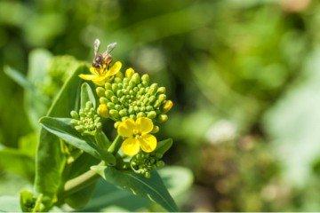 edible weeds wild brassica