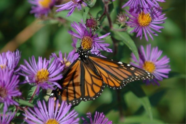 Flowers that attract butterflies the monarch butterfly