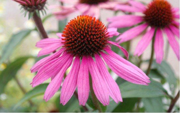 flowers that attract butterflies purple coneflower