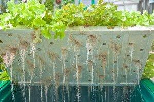 Hydroponic Fertilizer Lettuce Roots