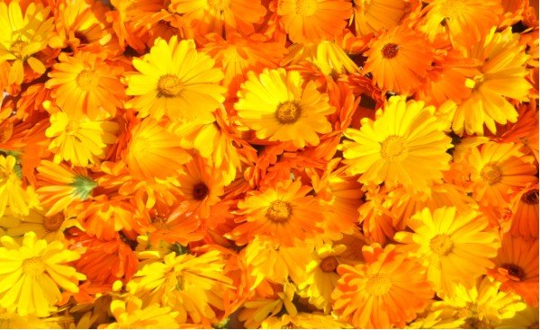flowers that attract butterflies the marigold