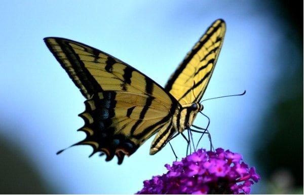 flowers that attract butterflies the zebra swallowtail