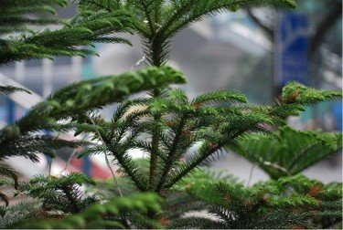 best indoor trees for the home Norfolk island pine