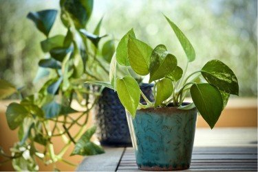best indoor trees for the home Pothos