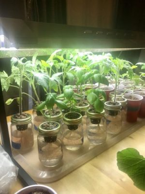 hydroponic plants under grow lights