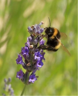 symbiotic relationship with plants bumble bee on lavender plant