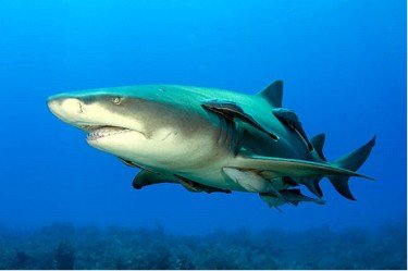 Shark with remora fish