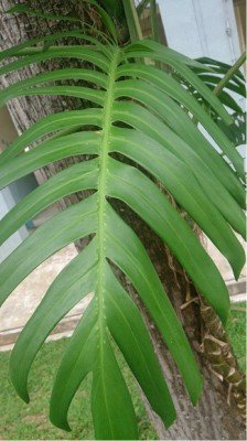 Bathroom plants that absorb moisture Dragon plant