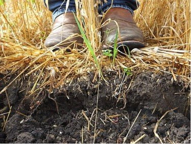 what is no till gardening cover crops