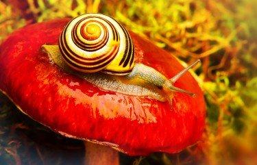 snail o a red mushroom