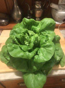 butternut crunch lettuce from a greenhouse