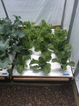 how to grow hydroponic lettuce kale romaine