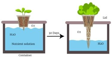 how to grow hydroponic lettuce root and air illustration